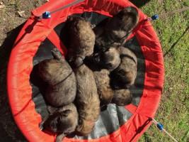 pups zari 4 weken